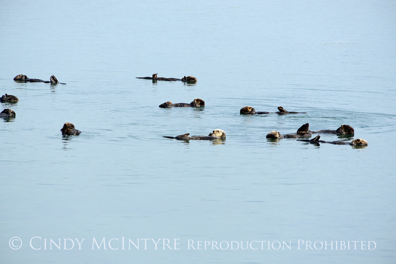 Sea Otters, Moss Landing, CA (23)