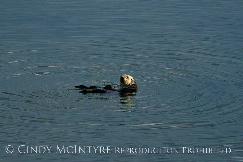 Sea Otters, Moss Landing, CA (10)