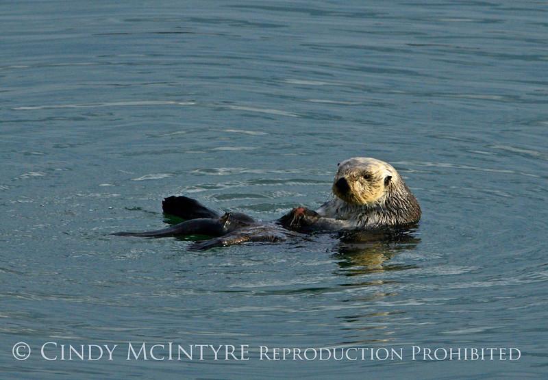 Sea Otters, Moss Landing, CA (12)