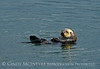 Sea Otters, Moss Landing, CA (12)