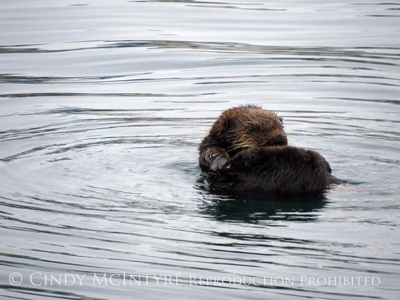 Sea Otter, Monterey CA (2)