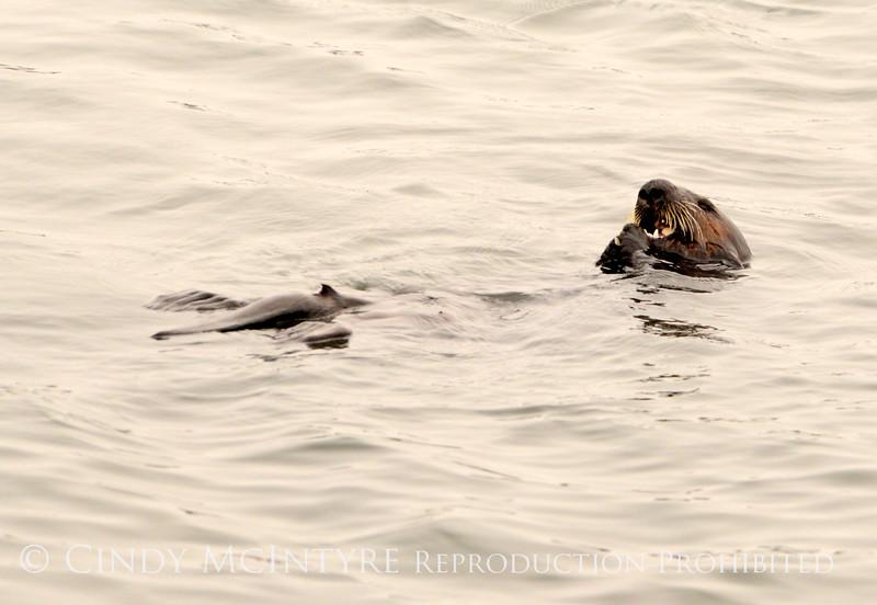 Sea Otters, Moss Landing, CA (3)