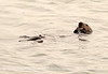 Sea Otters, Moss Landing, CA (3)