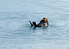Sea Otters, Moss Landing, CA (16)