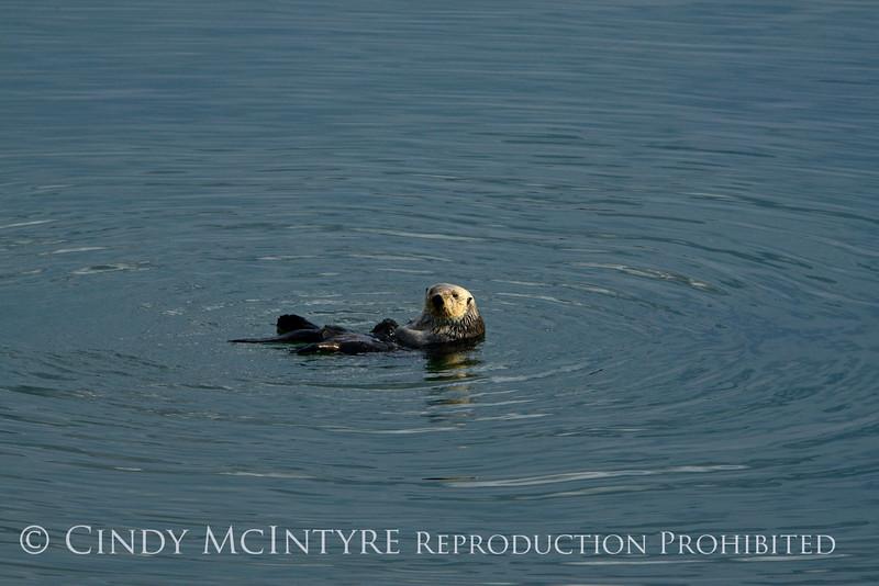 Sea Otters, Moss Landing, CA (11)