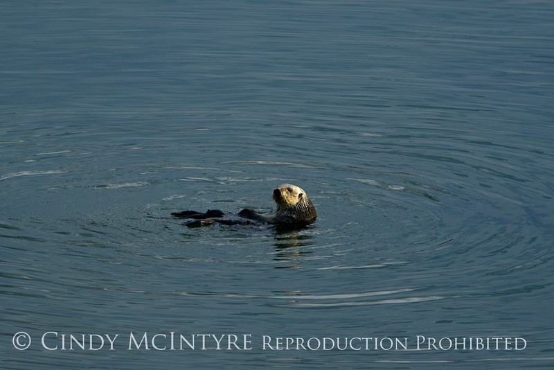 Sea Otters, Moss Landing, CA (9)
