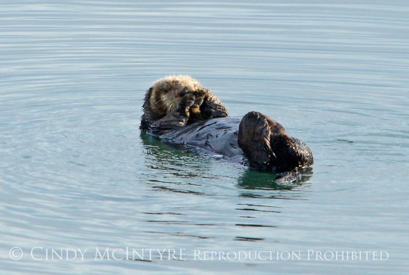 Sea Otters, Moss Landing, CA (20)