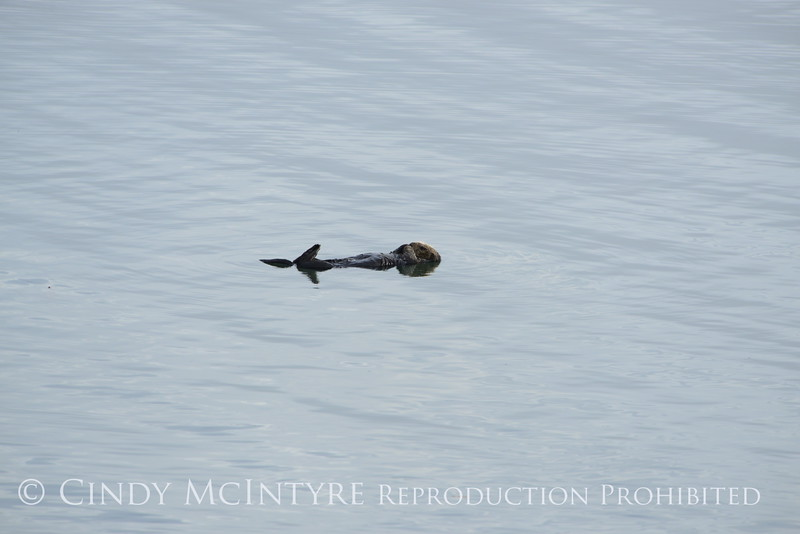 Sea Otters, Moss Landing, CA (19)