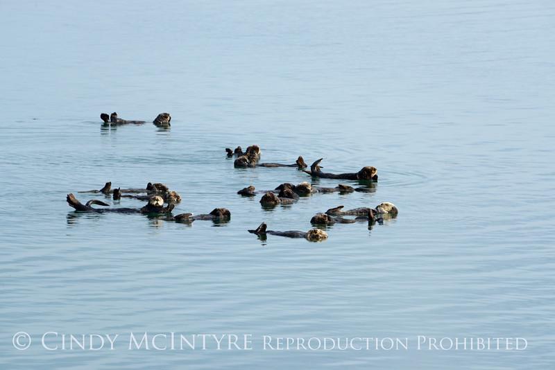 Sea Otters, Moss Landing, CA (22)