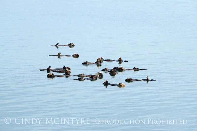 Sea Otters, Moss Landing, CA (21)