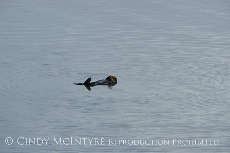 Sea Otters, Moss Landing, CA (17)