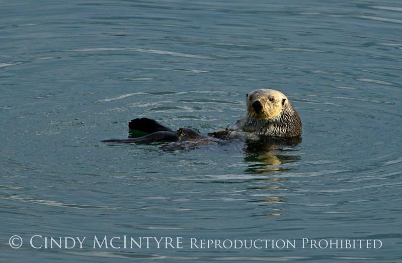 Sea Otters, Moss Landing, CA (13)