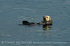 Sea Otters, Moss Landing, CA (13)