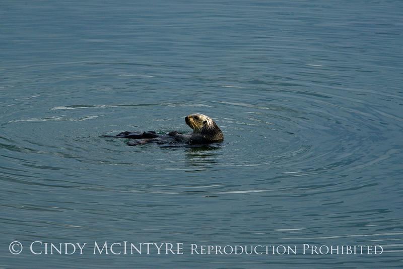 Sea Otters, Moss Landing, CA (8)