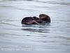 Sea Otter, Monterey CA (3)