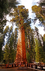 "The General Sherman Heralded as ""the world's largest living organism"", it has a base circumference of 102 ft, a diameter of 36 1/2ft, is 274 feet tall and has its first major branch 130 ft. above the ground. This first branch has a diameter, at its connection to the tree trunk, of 7 ft! The tree's trunk weighs about 1400 tons and contains enouch wood to build 40 or more houses. (Although we never found info with an approimate square footage that they were calculating these houses into their formula with).  Despite its estimated age of 2300 - 2700 years, the General Sherman Tree is growing vigorously. Every year, the General sherman grows enough new wood to make a 60-foot-tall tree of usual proportions. The tree was named in 1879 by James Wolverton after the general under whom he had served during the Civil War.  In all the world, Sequoias grow naturally only on the west slope of the Sierra Nevada, most often between 5,000 and 7,000 feet of elevation. There are some 75 groves in all. Chemicals in the wood and bark provide resistance to insects and fungi, and thick bark insulates them from most fire. The main cause of Sequoia deaths is toppling. They have a shallow root system, with no taproot. Soil moisture, root damage, and strong winds can lead to toppling.  Make sure to notice my friend, Ella, standing at the base!  Four shot panorama, stacked horizontally"
