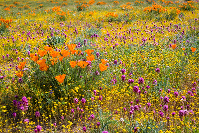Wildflowers near Lancaster, CA