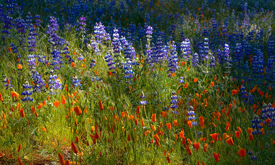 Lupines and Poppies on Figueroa Mountain
