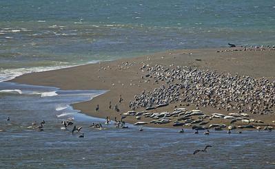 seals & pelicans on Sonoma coast