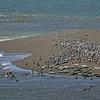 seals & pelicans on Sonoma coast