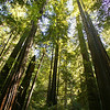 redwood trees Armstrong Woods