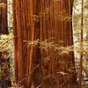 foot of redwood tree