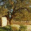 oak tree & hay bales at Beltane