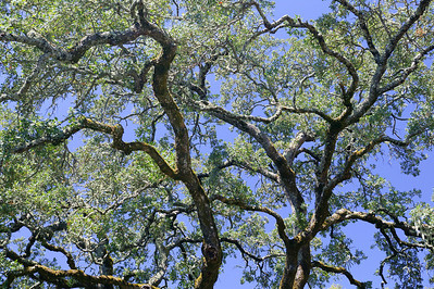 live oak branches against sky