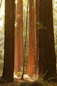 redwoods in Armstrong Woods