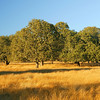 oaks at Beltane Ranch