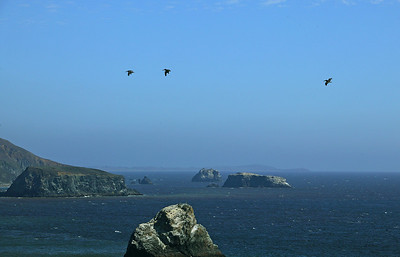 pelicans Sonoma coast