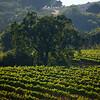 Beltane vineyard with tree
