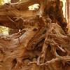 roots of redwood stump