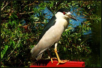 Black Crowned Night Heron Ventura CA