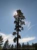 Pine, Big Bear Lake CA (1)