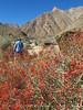 Anza Borrego SP Palm trail-chuparosa in bloom (1)