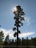 Pine, Big Bear Lake CA (2)