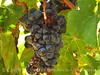 Black grapes, Calif