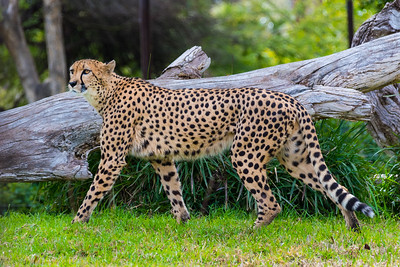 San Diego Safari Park-1096