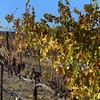Temecula California, Late Harvest Grapes