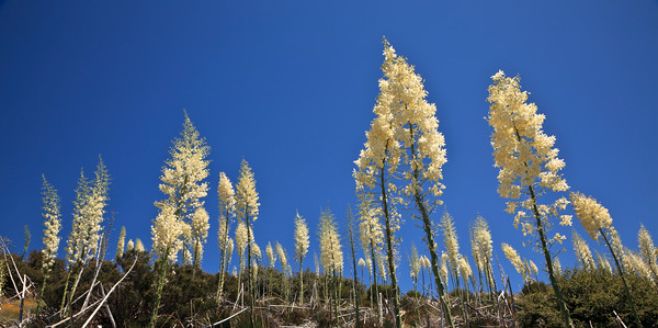 Yuccas and other wildflowers along Nordhoff Ridge, Las Padres National Forest