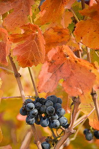 Grapes left on the vine after harvest - vertical