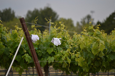 The white glove test in the vineyard?