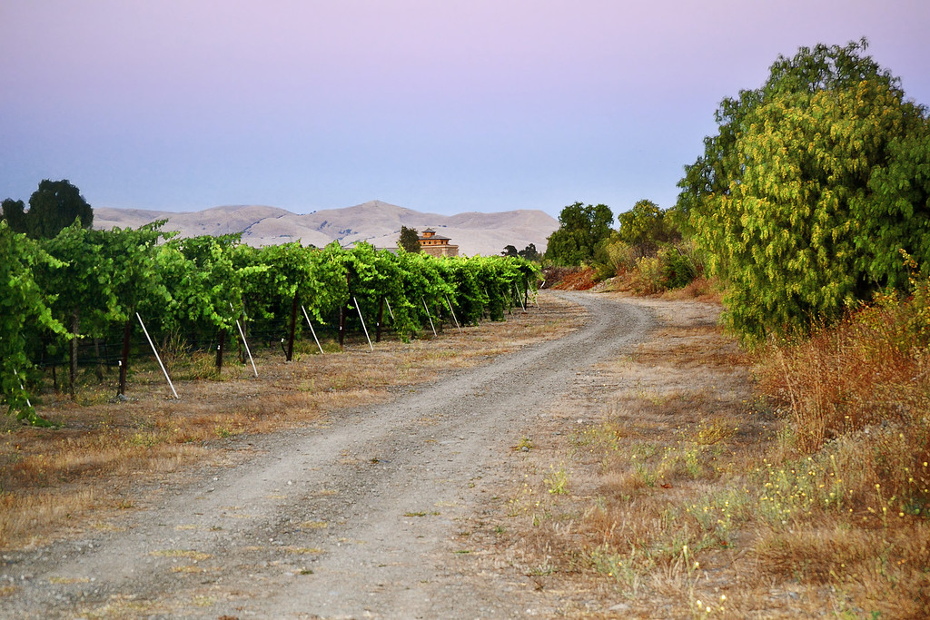 Concannon Vineyard by Arroyo Mocho Creek, Livermore, CA.    Jazz and I, leave the bike path for the vineyard road which borders the Arroyo Mocho Creek.   This is looking South from the section of bike path near Concannan Road.   Harvest time is around the corner.