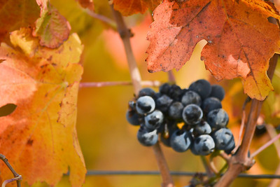 Grapes on the vine after Harvest - Horizontal