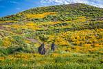 The spring poppy fields in Walker Canyon near Lake Elsinore, California, USA.