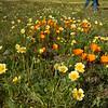 Shell Creek Road, San Luis Obispo County, California during 2019 wildflower superbloom