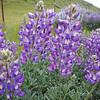 Silverbush lupine, Shell Creek Road, California