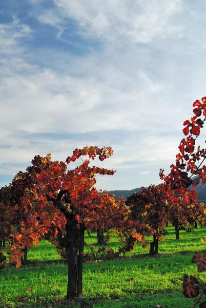 The late afternoon sun lights up some changing vineyard leaves in Napa Valley
