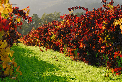 Afternoon sun lighting up some vineyards in Napa Valley